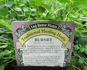 Burnet (Poterium sanguisorba)