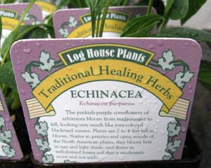 Echinacea (Echinaces purpurea)
