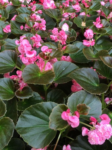 Begonia 'Doublet Rose' fibrous double