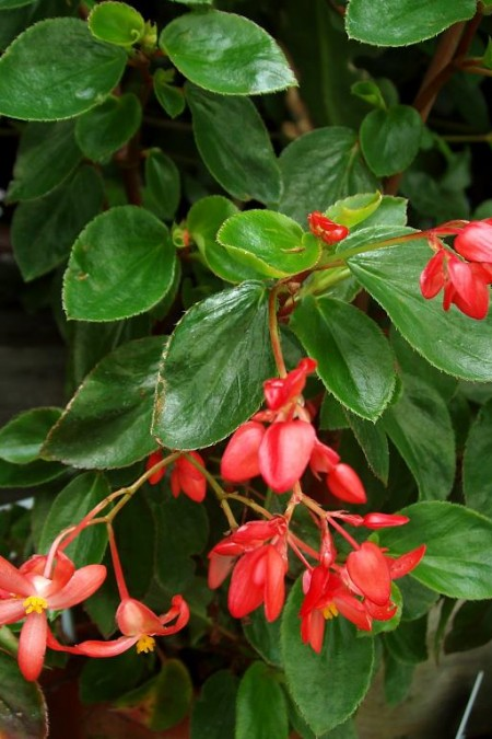 Begonia fuchsifolia 'Red'