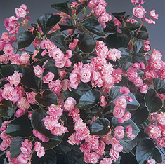Begonia 'Doublet Pink' fibrous double