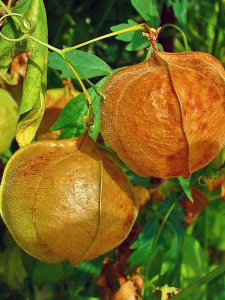 Cardiospermum halicacabum Balloon Vine/Heart Seed/Winter Cherry