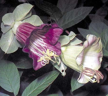 Cobaea scandens 'Violet' Cathedral Bells