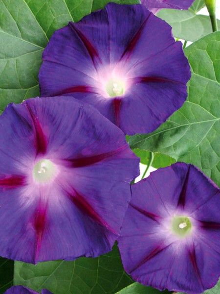 Convolvulus 'Star of Yelta'