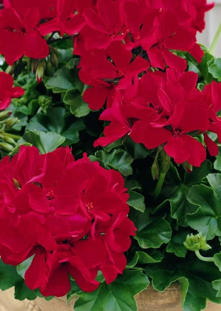 Geranium 'Caliente Deep Red' interspecific