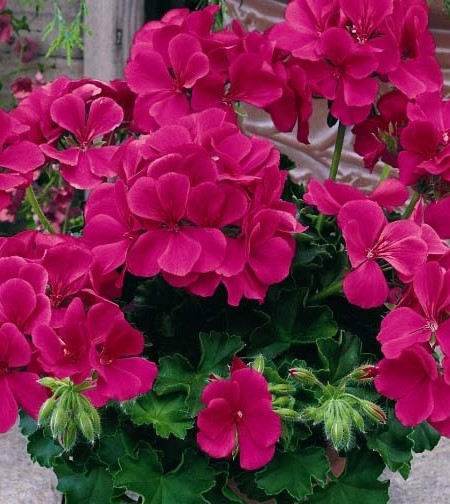 Geranium Caliente Rose interspecific