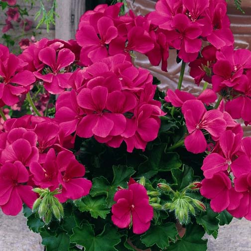 Geranium 'Caliente Rose' interspecific