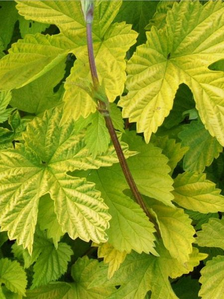 Humulus lupulus 'Aureus' Golden Hops
