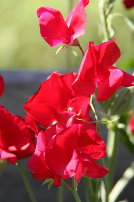 Lathyrus odoratus 'Old Spice King Edward VII' Old-Fashioned Sweet Pea