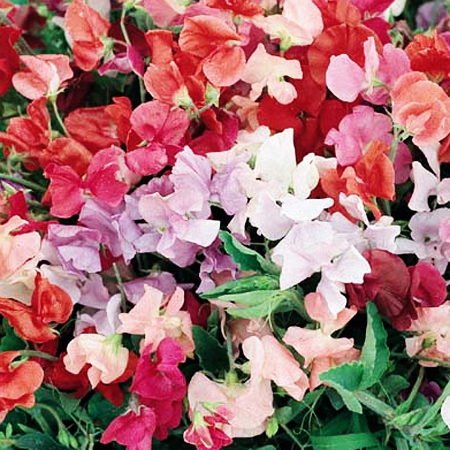 Lathyrus odoratus 'Little Sweetheart Mix' Dwarf Sweet Pea