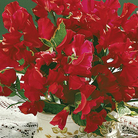 Lathyrus odoratus 'Mammoth Scarlet' Old-Fashioned Sweet Pea