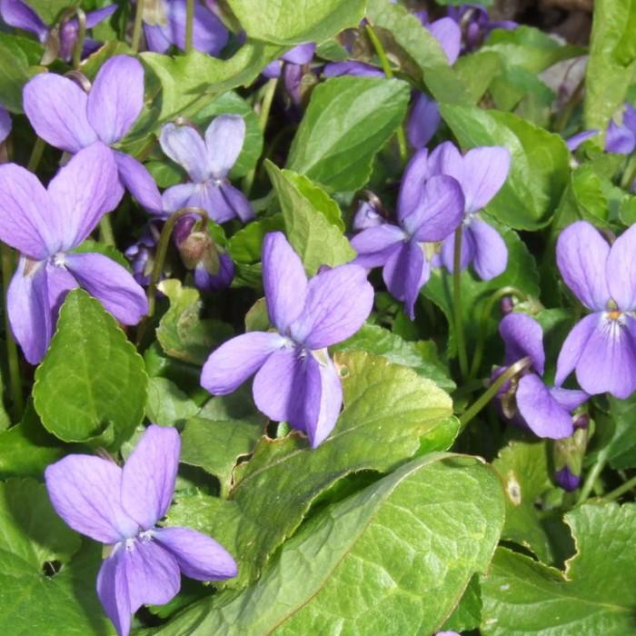 SWEET VIOLET Viola odorata