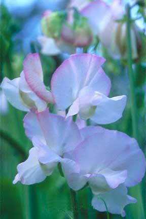 Lathyrus odoratus ' Claire Elizabeth' Spencer Sweet Pea
