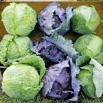 VegetableCabbage_3MiniCabba