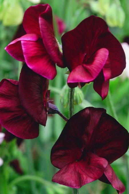 Lathyrus odoratus 'Beaujolais' Spencer Sweet Pea