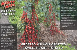 Grafted tomato comparison