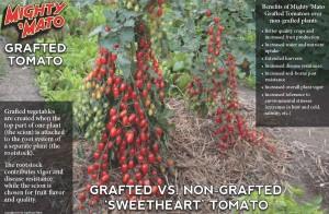 Grafted tomato comparison