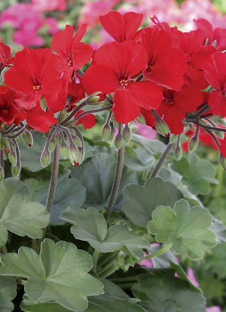 Geranium 'Caliente Fire 09' interspecific