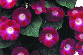 Ipomoea purpurea 'Scarlet O'Hara' Morning Glory
