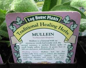 Mullein (Verbascum thapsus)