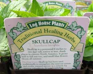 Skullcap (Scutellaria laterifolia)