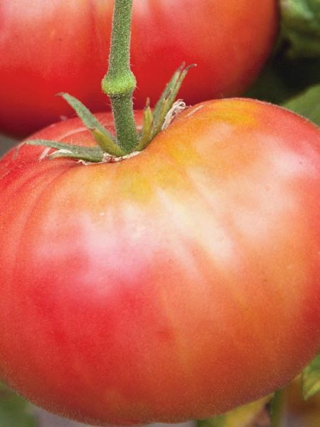 Heirloom Tomato 'Brandywine Red Sudduth'