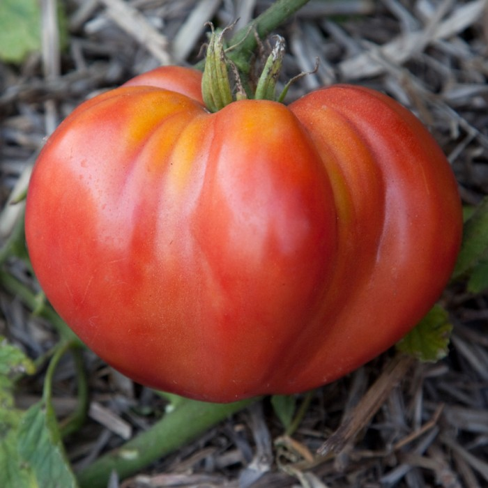 Heirloom Tomato 'Giant Oxheart' Mighty 'Mato