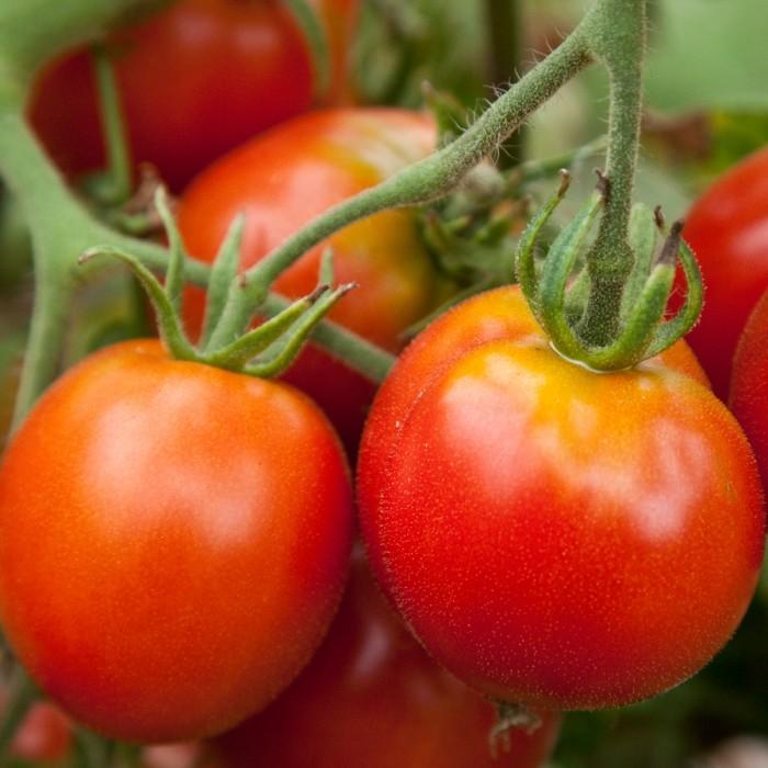 Heirloom Tomato 'Glacier' Mighty 'Mato