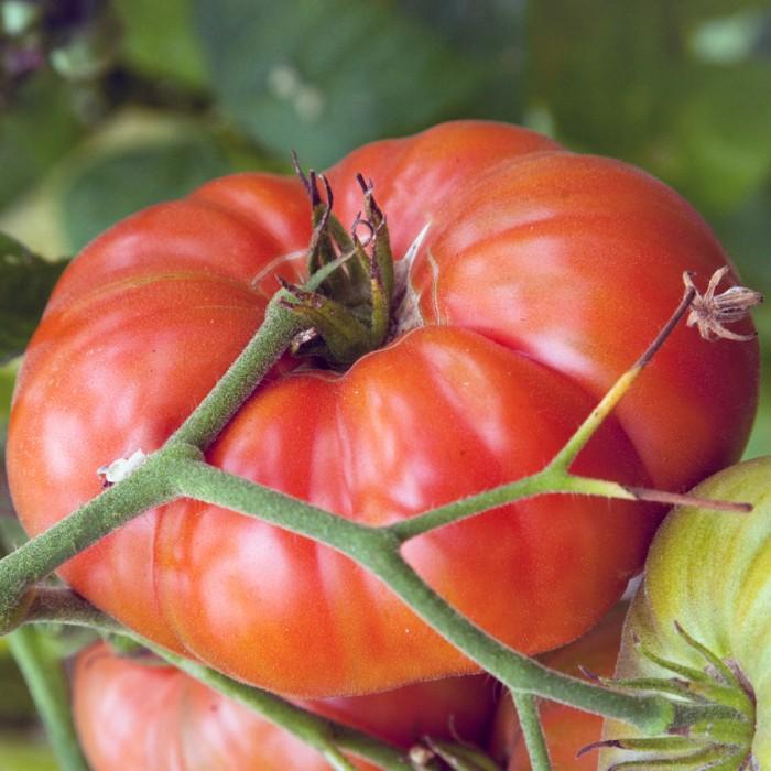 Heirloom Tomato 'Marianna's Peace' Mighty 'Mato