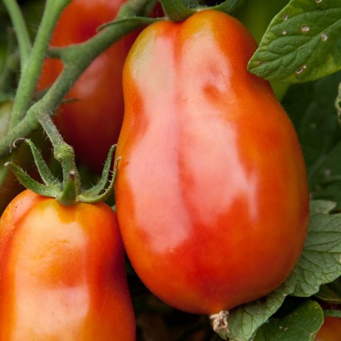 Heirloom Tomato 'San Marzano' Mighty 'Mato