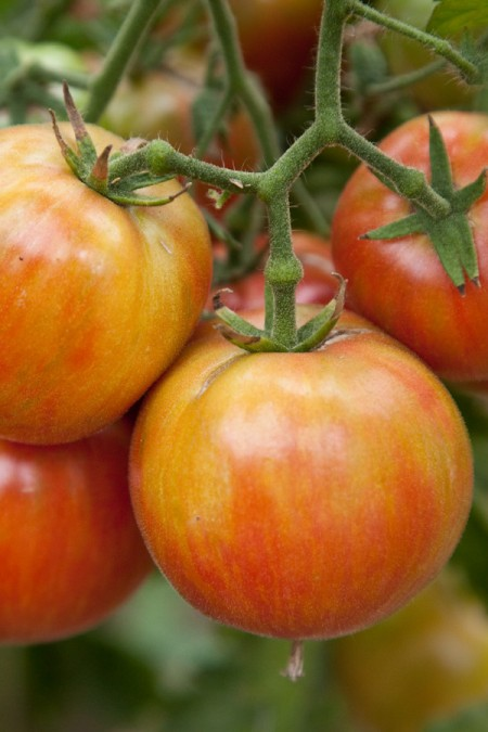Tomato Wild Boar Farms Hybrid 'Sweet Carneros Pink' Mighty 'Mato