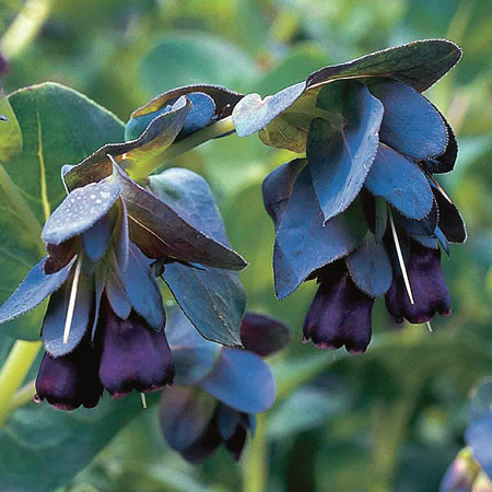 Cerinthe major Kiwi Blue