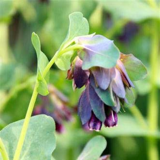 Cerinthe major Pride of Gibraltar