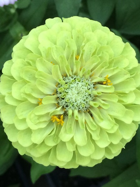 Zinnia elegans 'Queen Lime'