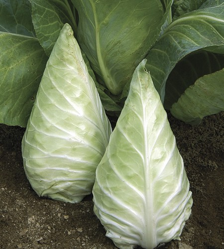 Cabbage Mini Caraflex