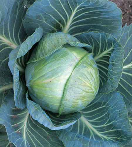 Cabbage 'Stonehead'