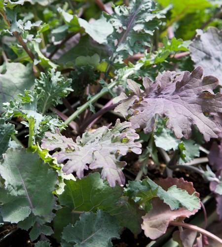 Kale 'Wild Garden Mix'