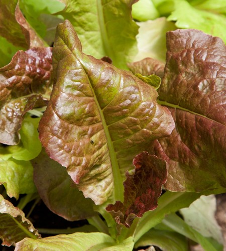 Lettuce 'Outredgeous' Red Romaine
