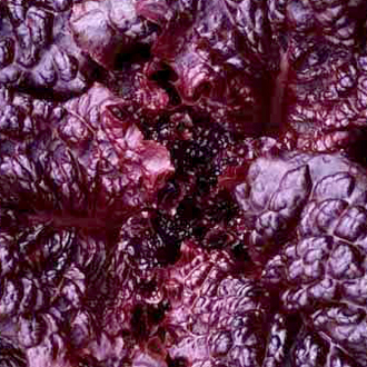 Lettuce 'Hyper Red Rumple' looseleaf
