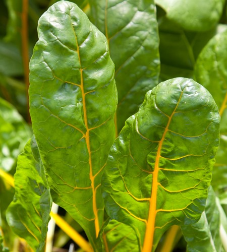 Swiss Chard 'Orange Fantasia'