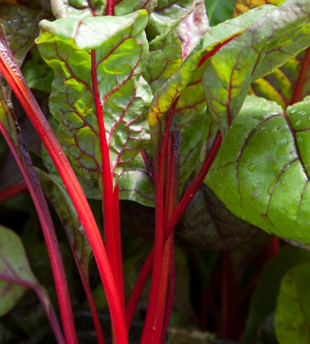 Swiss Chard 'Red Rhubarb'