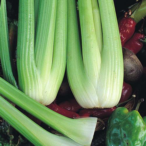 Celery Victoria