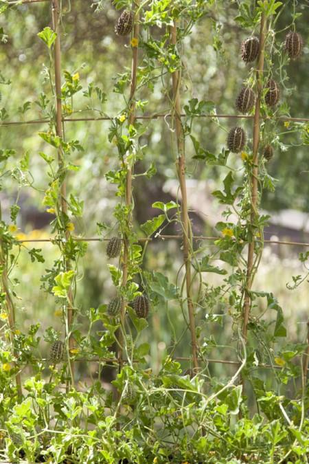 Cucumis africanus African Wild Cucumber, trellised
