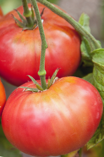 Heirloom Tomato 'Brandywine Red' Mighty 'Mato