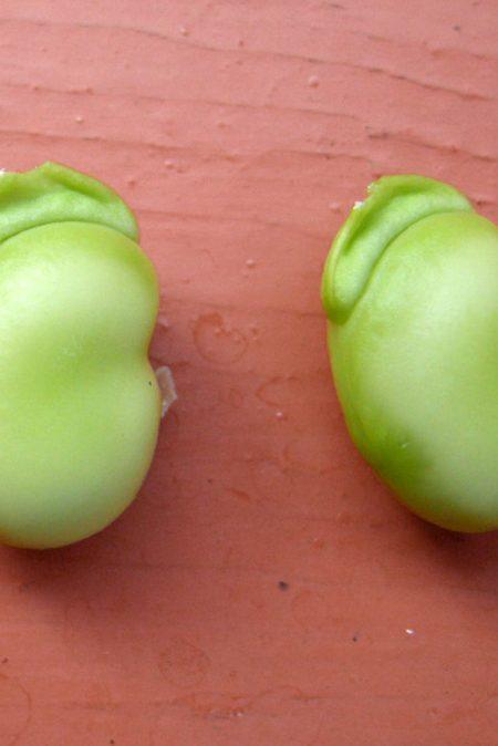 Heirloom Bean 'Sweet Lorane Bush Broad' Fava Bean