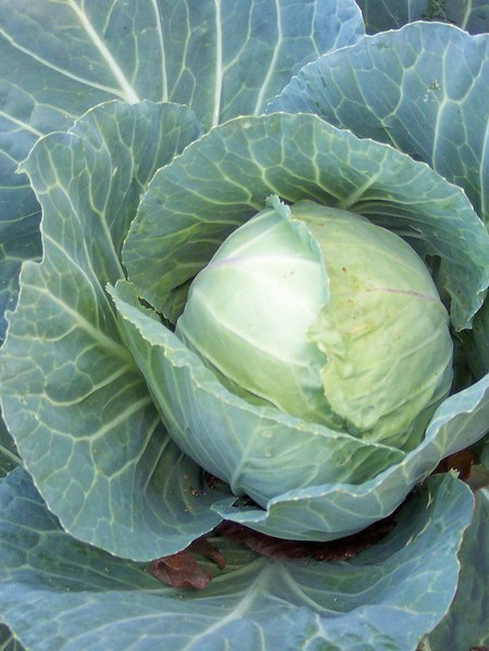 Cabbage 'Quick Start'