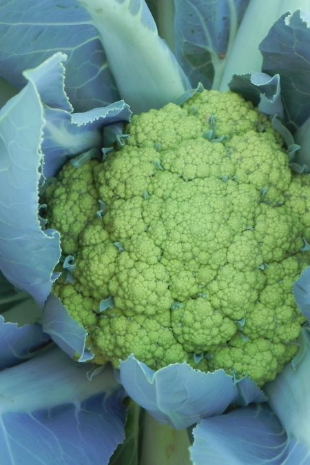 Cauliflower 'Vitaverde'