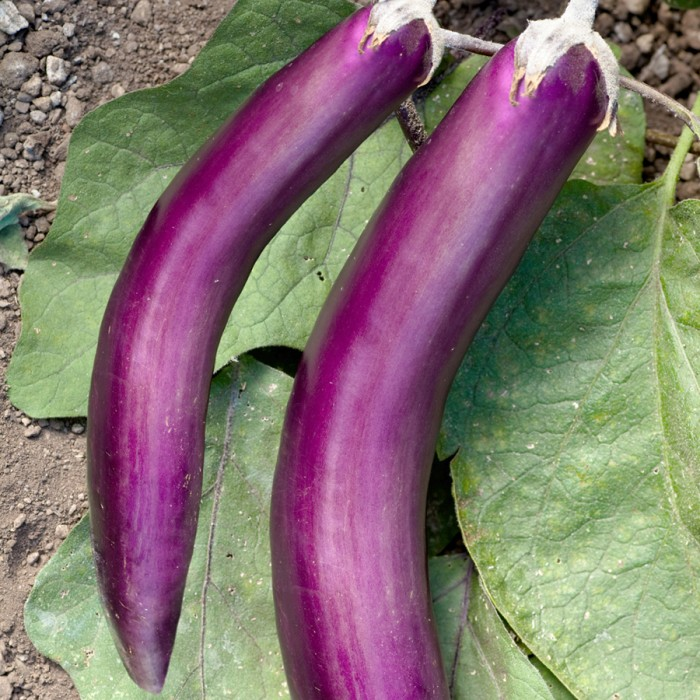 Eggplant 'Ping Tung Long'