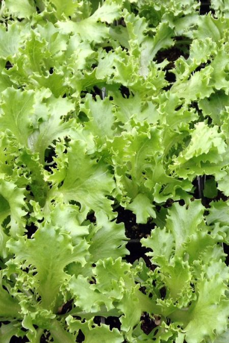 Lettuce 'Salanova Green Sweet Crisp Frisee'
