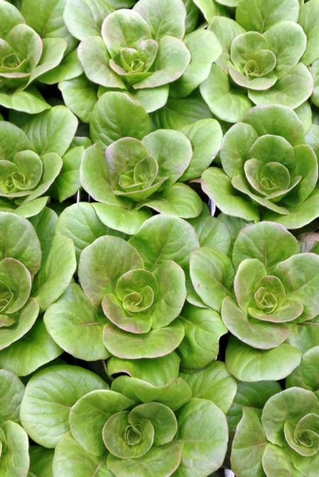 Lettuce 'Salanova Red Multi-Leaf Butter'